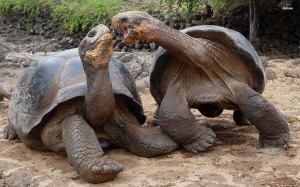 9484-aldabra-giant-tortoise-1920x1200-animal-wallpaper